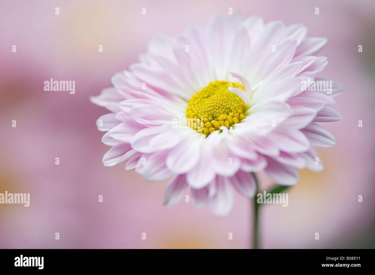 A single English Daisy Flower - Bellis perennis Stock Photo
