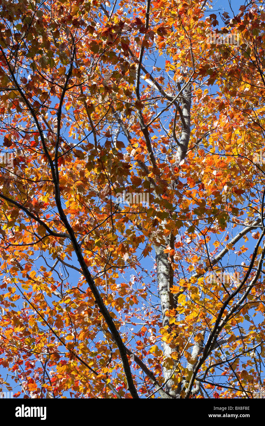 Bright colorful autumn leaves on tree with blue sky, vertical, New Hampshire, USA - Stock Image