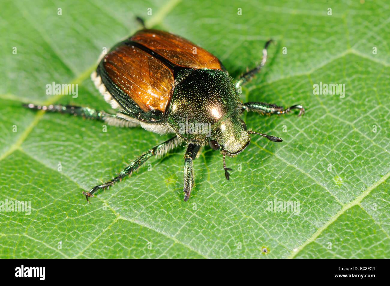 Japanese beetle,  Popillia japonica - Stock Image