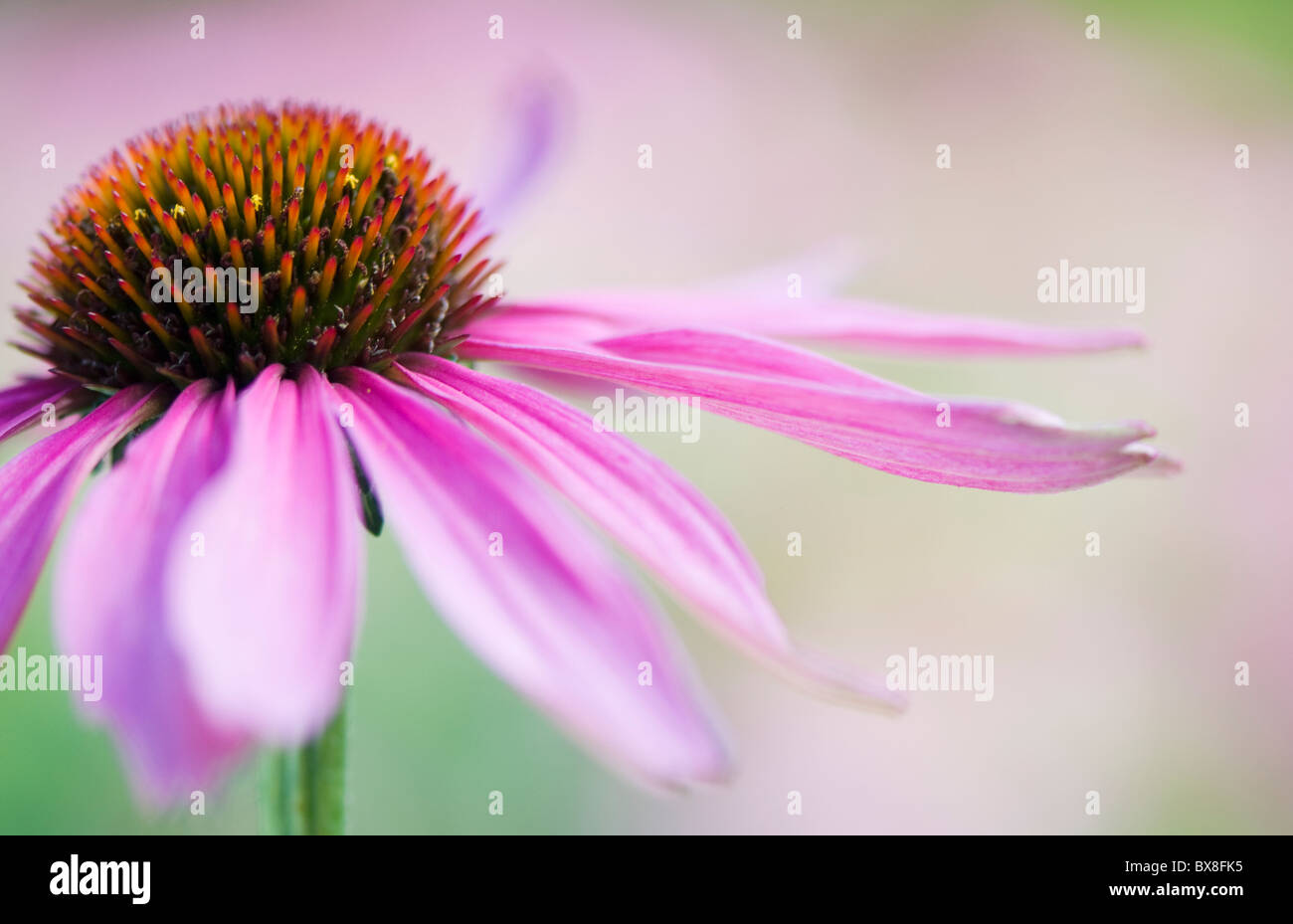A single close-up image of Echinacea purpurea - Coneflower - Stock Image