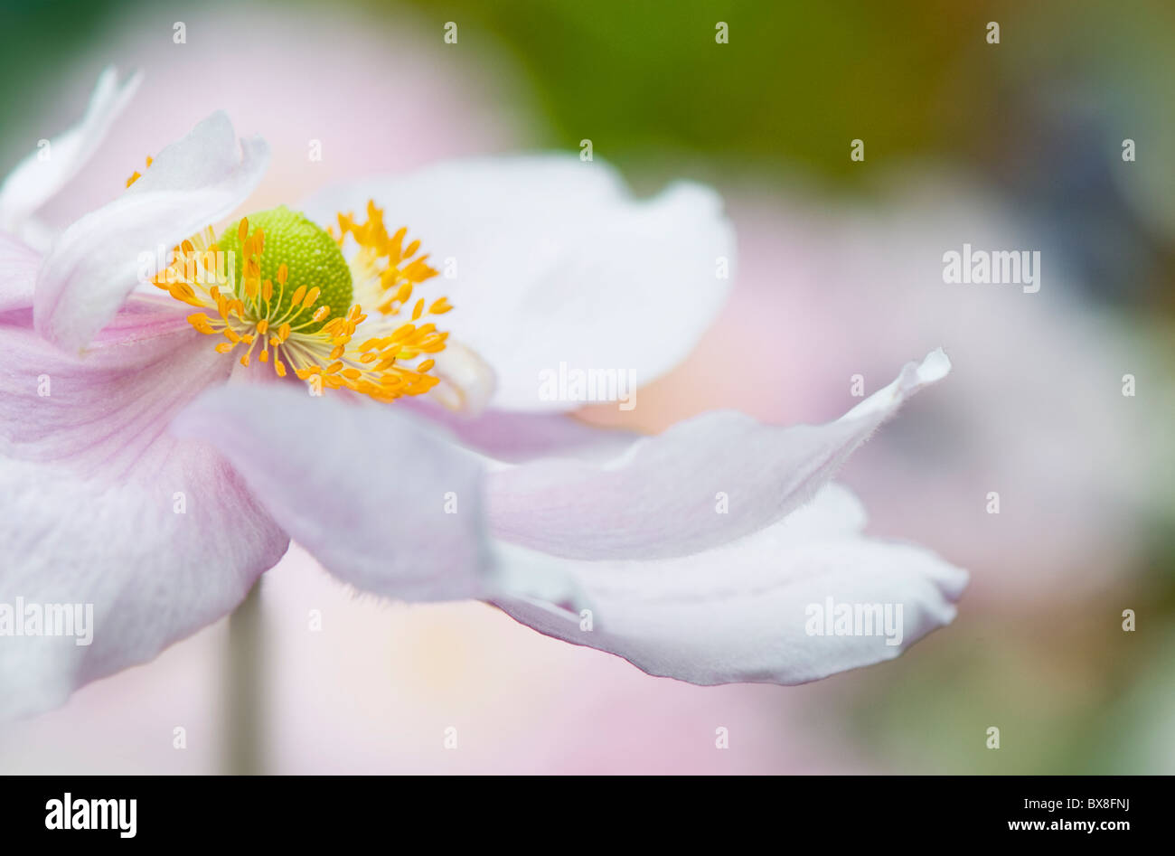 A single soft focus pink Japanese Anemone flower - Anemone Japonica, A. hybrida 'Queen Charlotte' - Stock Image