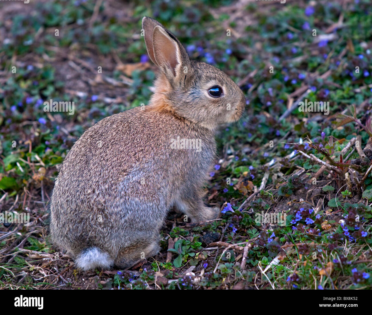 Baby Wild European Rabbit (oryctolagus cuniculus) - Stock Image