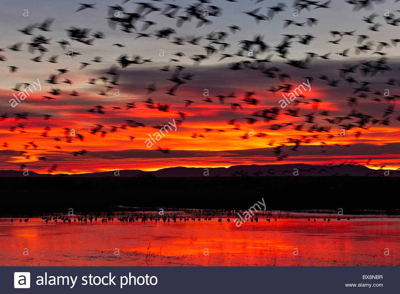 A large flock of snow geese (Chen caerulescens) lifts off from a pond in the Bosque del Apache National Wildlife - Stock Image
