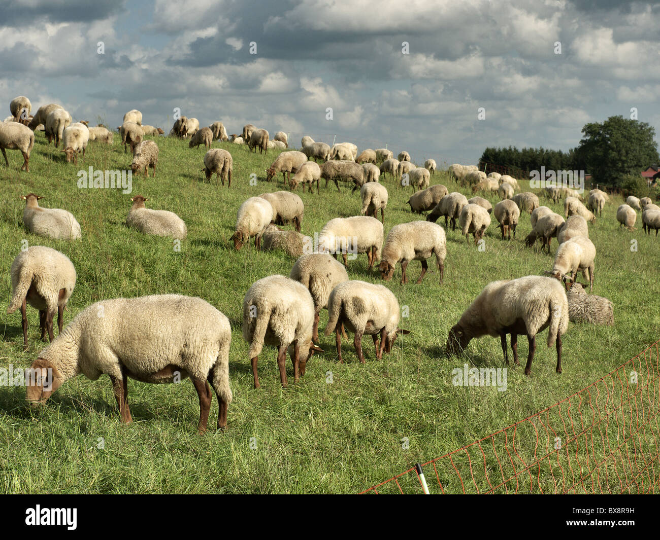 Flock of sheep grazing on a dike of the river Elbe near Tespe, Elbmarsch, Niedersachsen, Germany. - Stock Image
