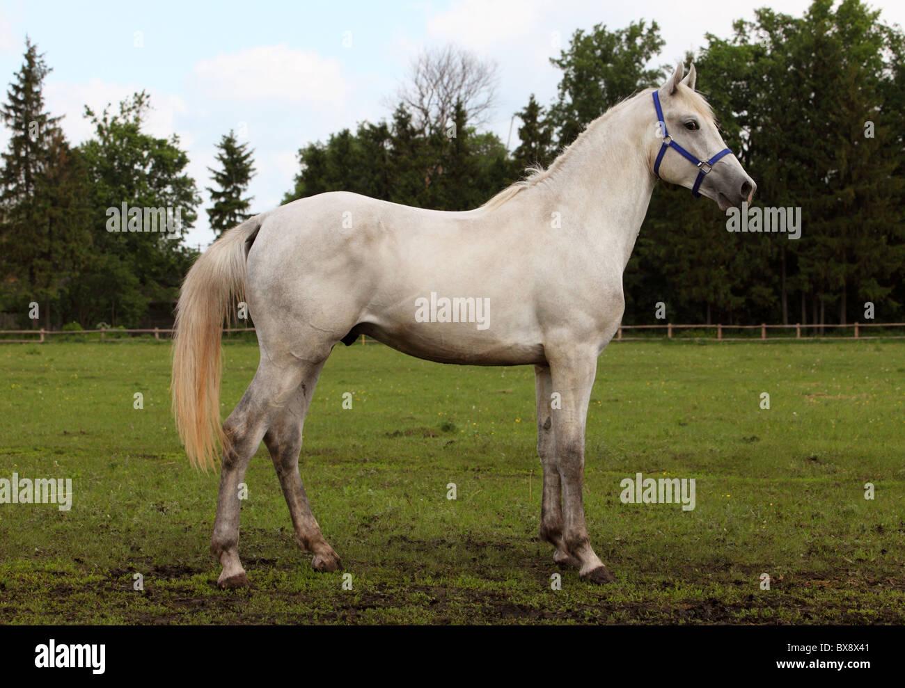 Portrait of a white stallion - Stock Image