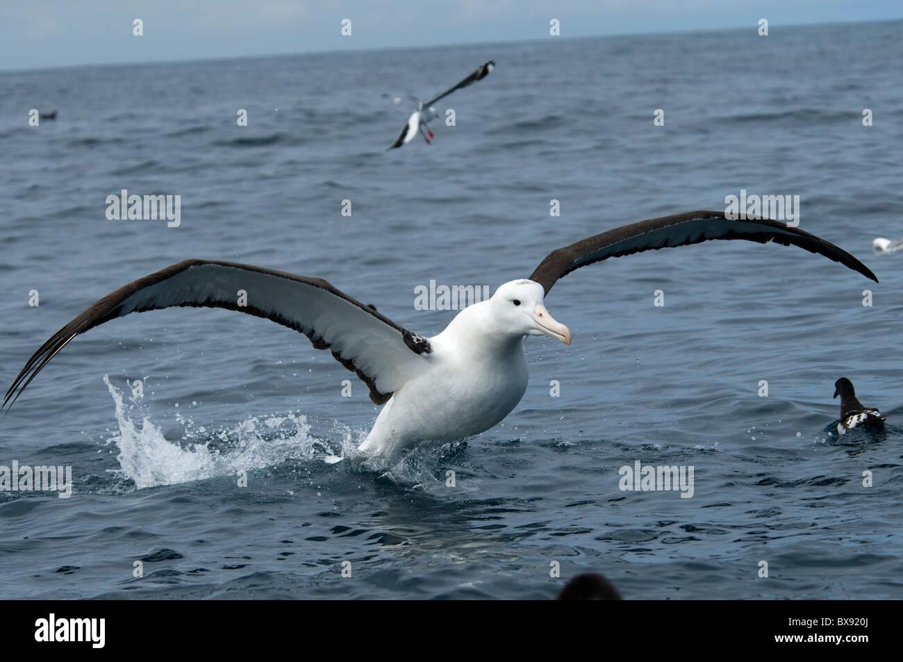 Royal Albatros preparing for landing on water, Königsalbatros bei der Vorbereitung auf eine Wasserlandung Stock Photo