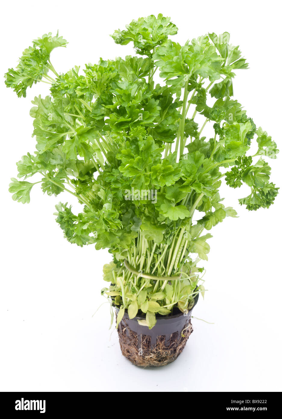 Bunch of parsley on a white background - Stock Image