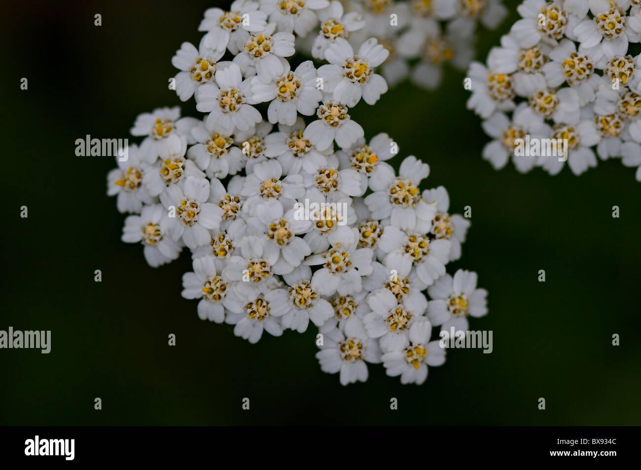 Small white mountain flowers stock photo 33391468 alamy small white mountain flowers mightylinksfo