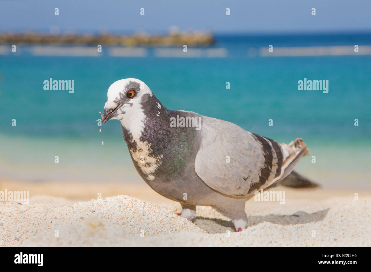 Pigeon on the beach - Stock Image