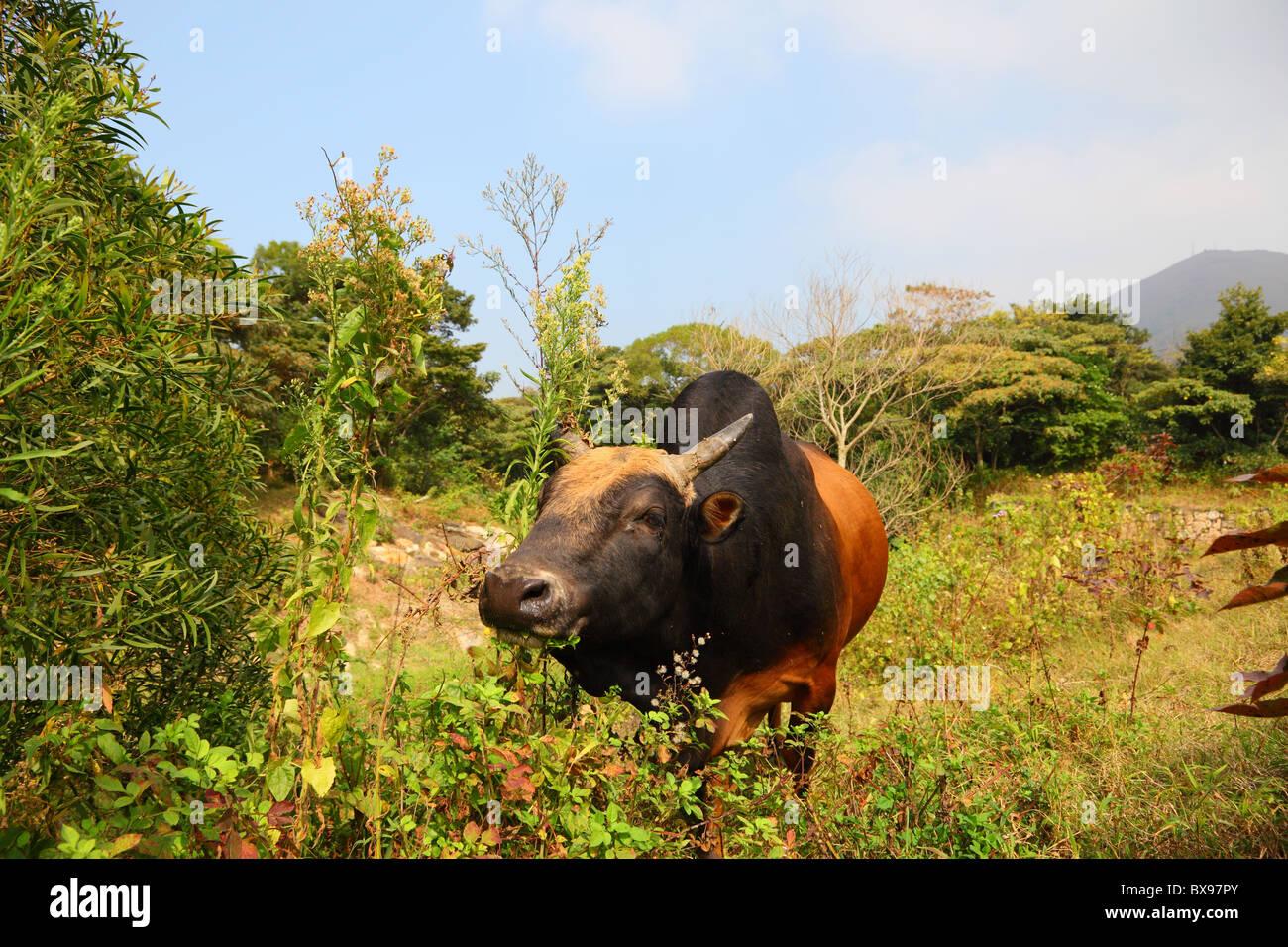 Cow on Lantau Island in Hong Kong, China - Stock Image