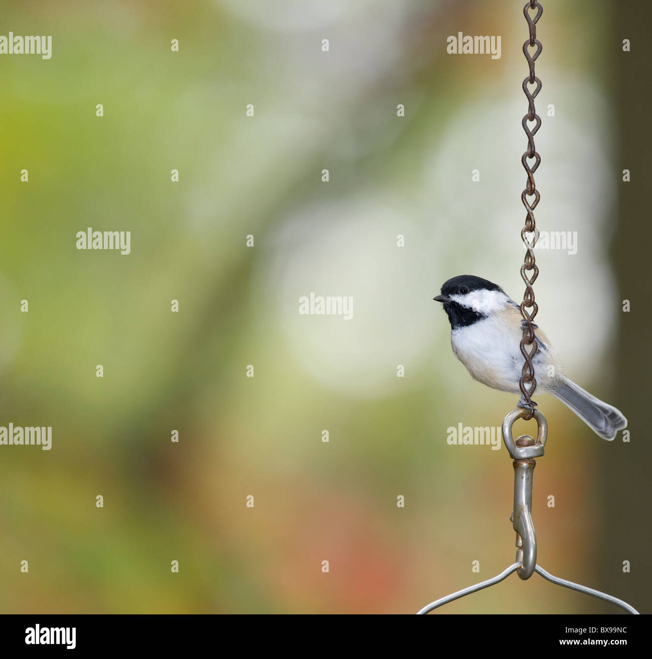 A striking photograph of a Carolina Chickadee - Stock Image