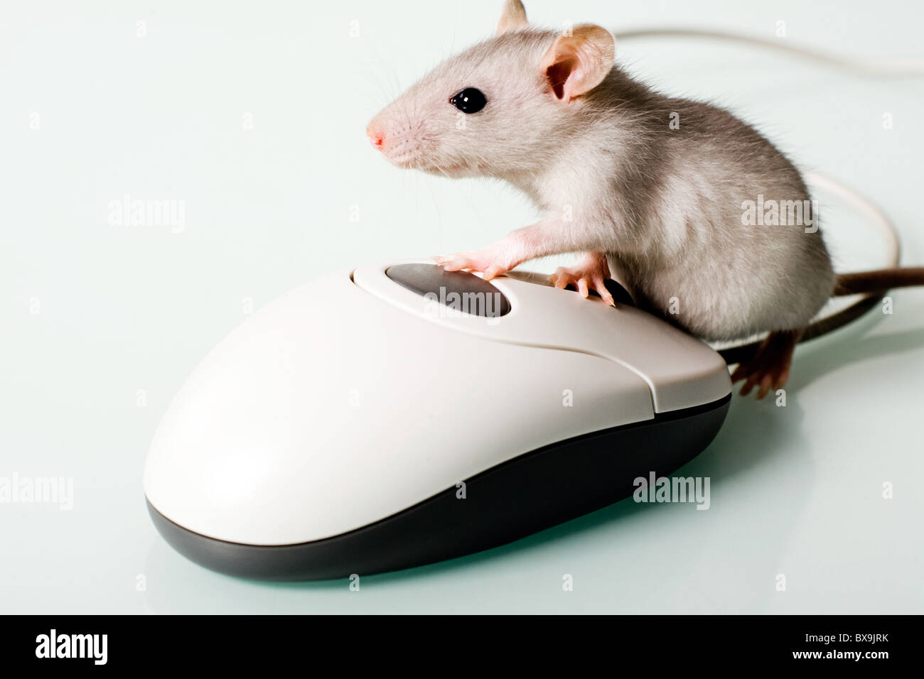Image of small pet touching to the computer mouse - Stock Image