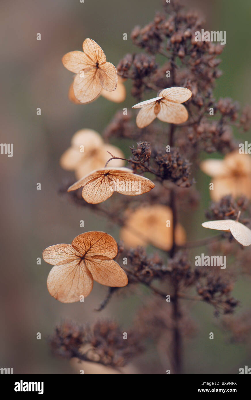 A single hydrangea flower head in winter - Stock Image