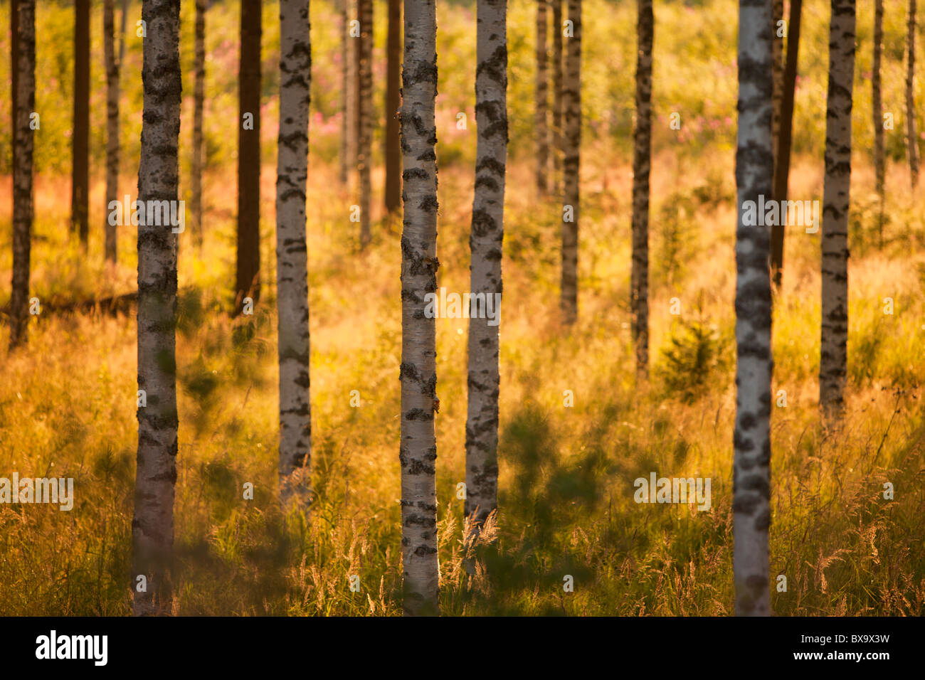 View of group of young birch ( betula ) trees at evening sun - Stock Image