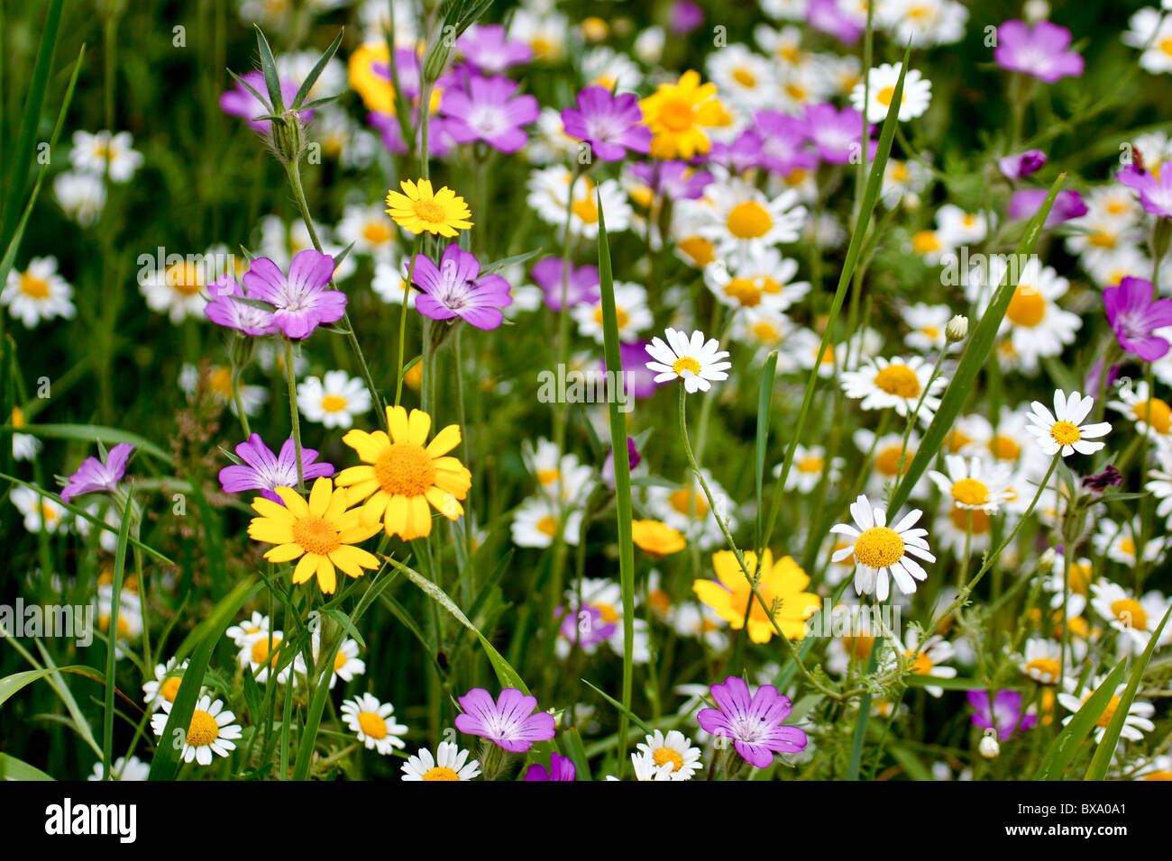 Magnificent display of english wild flowers - Stock Image