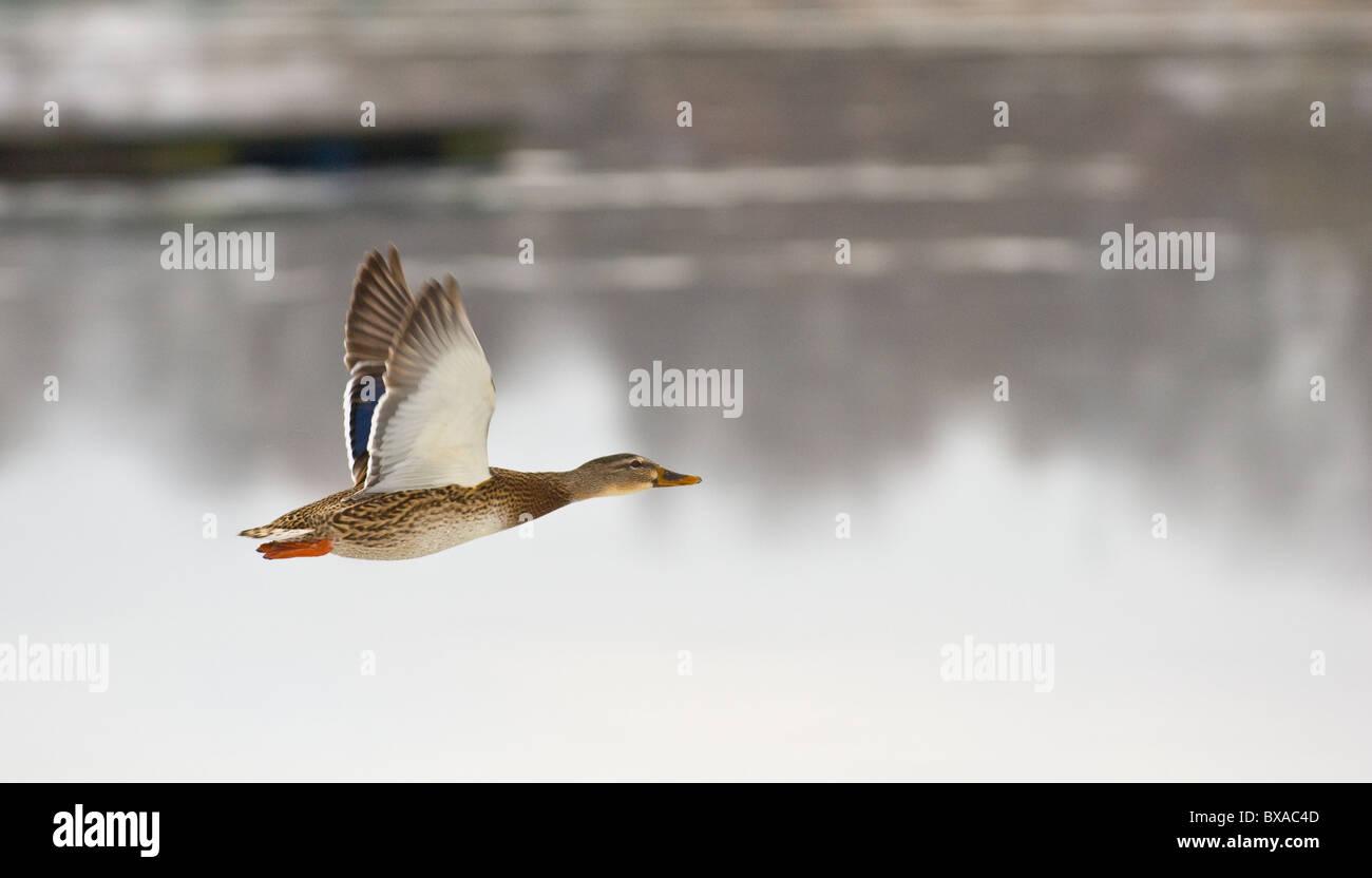 Female adult Mallard duck flying. - Stock Image