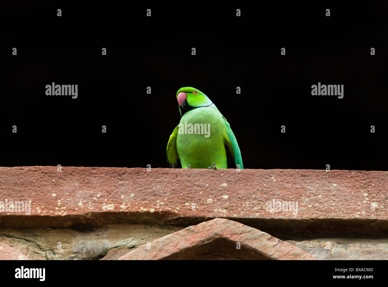 Indian Ringneck Parrot. - Stock Image