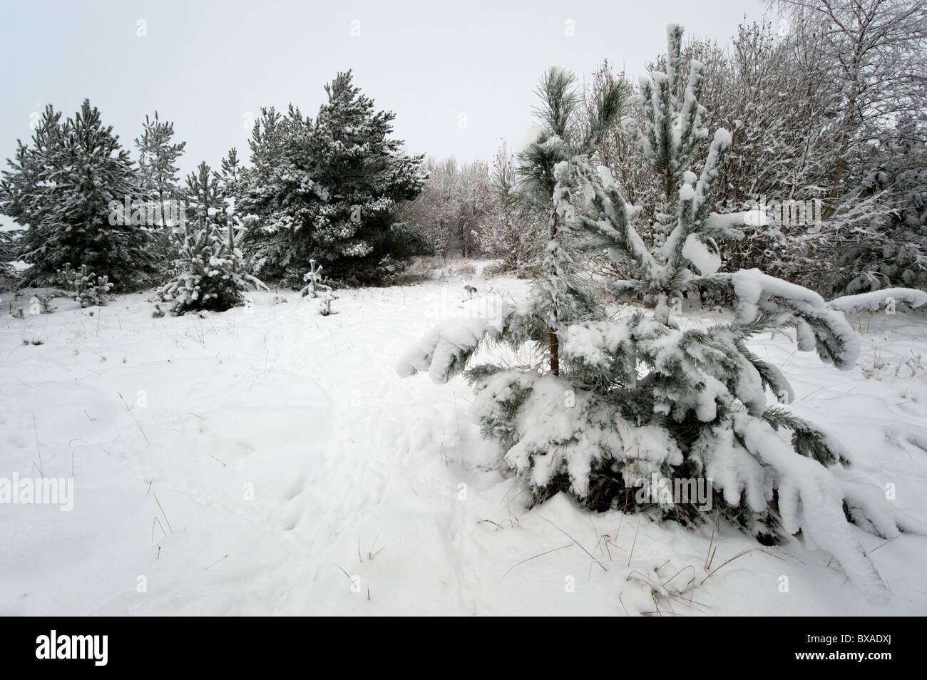 Conifer and mixed woodland plantation covered in snow on Little Snoring Airfield. - Stock Image