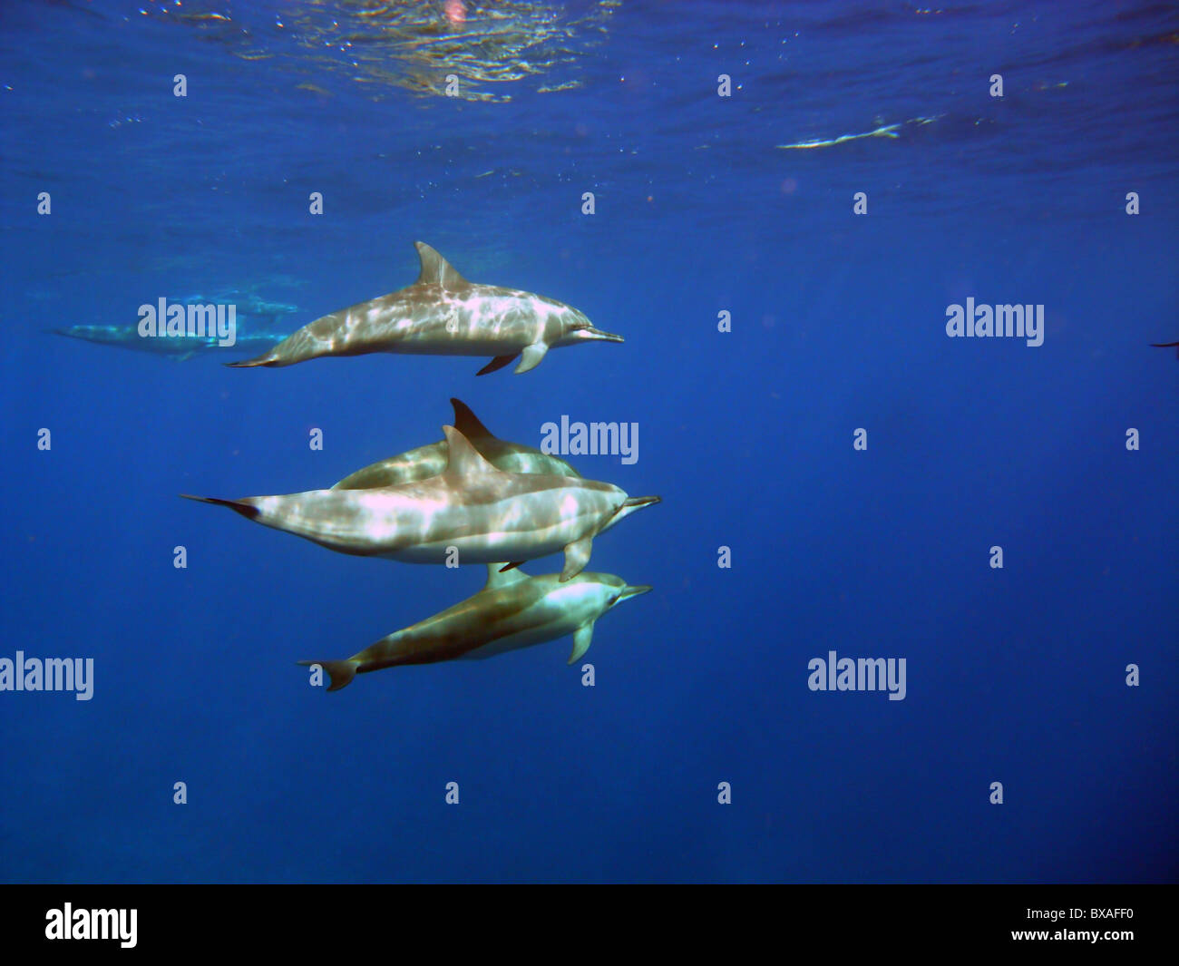 Spinner dolphins (Stenella longirostris) near Christmas Island, Indian Ocean - Stock Image