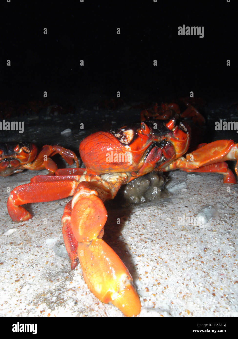 Red crabs (Gecarcoidea natalis) spawning at around 4am at ocean's edge, 1 December 2010, Christmas Island, Indian - Stock Image