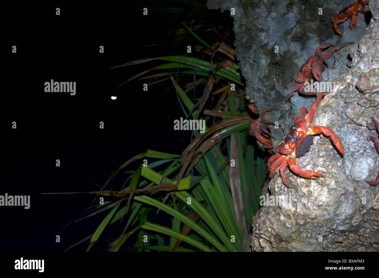 Red crabs (Gecarcoidea natalis) descending cliffs at Ethel Cove to spawn, with half-moon in background, Christmas - Stock Image