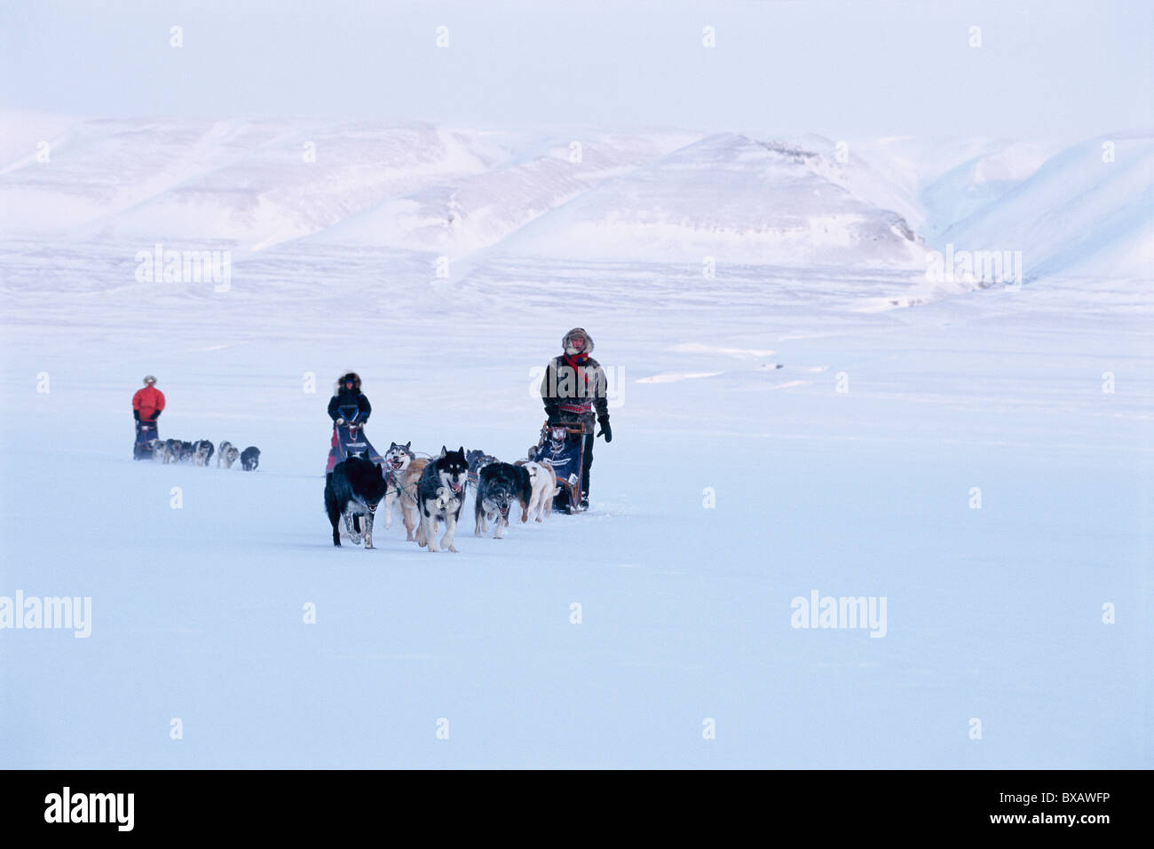 Dogs relay in winter scenery - Stock Image
