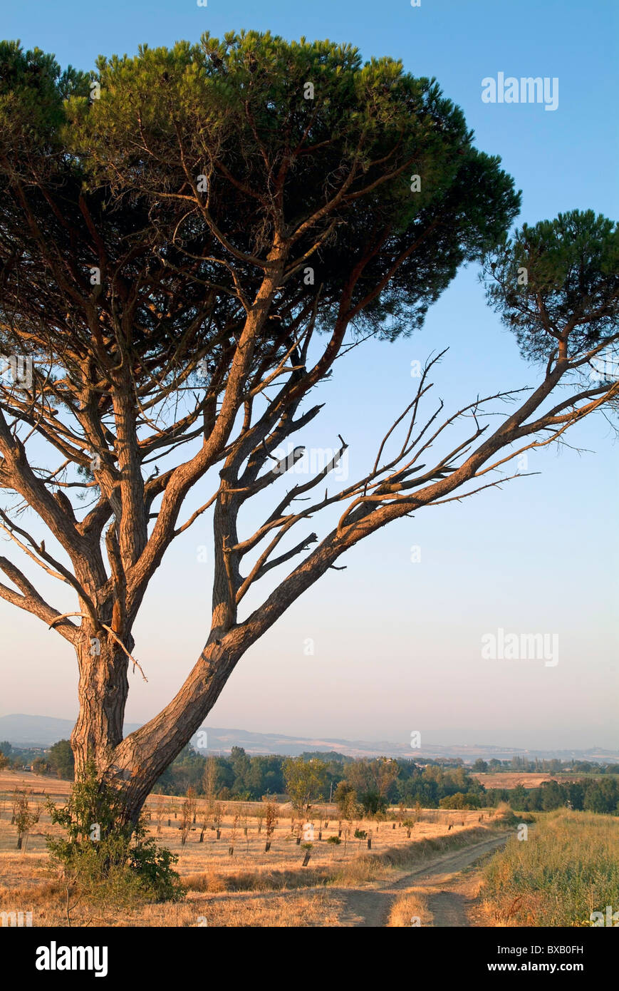 Dirt road passing an old pine tree, Carcassonne, Alzonne, France. - Stock Image