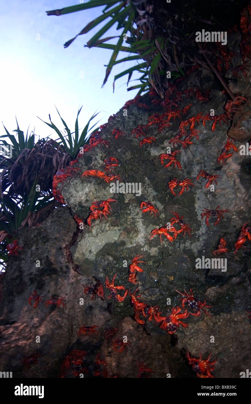Red crabs (Gecarcoidea natalis) climbing down cliffs to beach to spawn at dawn, Ethel Cove, Christmas Island, 1 - Stock Image