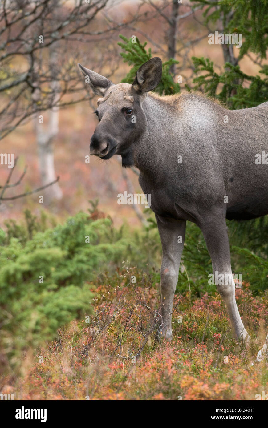 Moose in forest - Stock Image