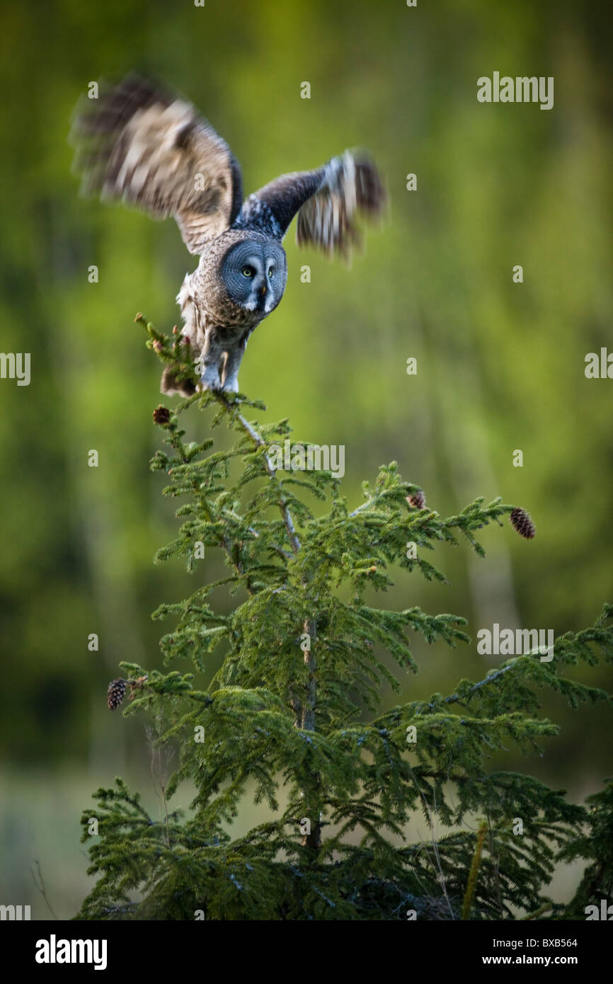 Owl with spread wings on branch - Stock Image