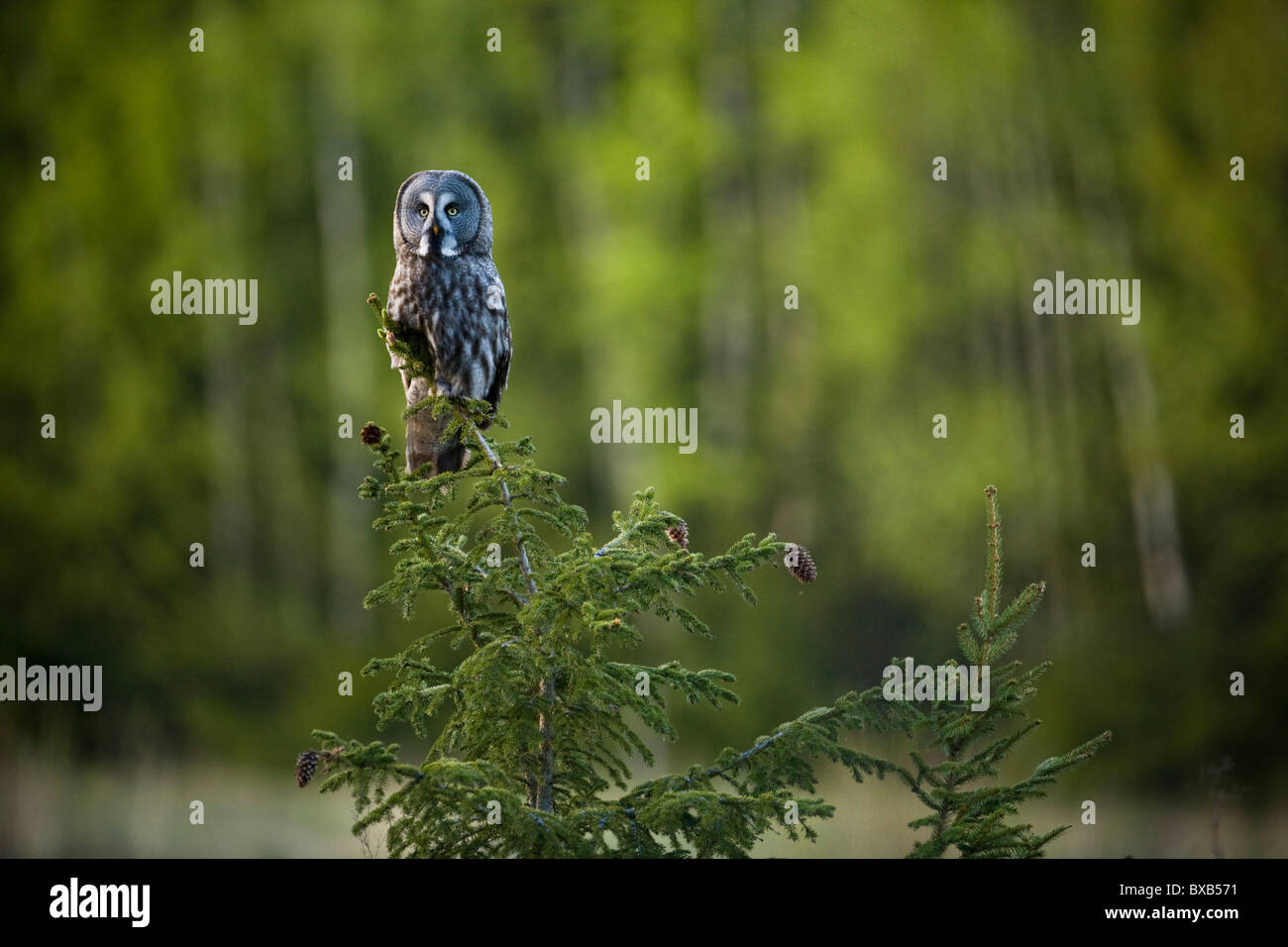 Owl perching on branch - Stock Image