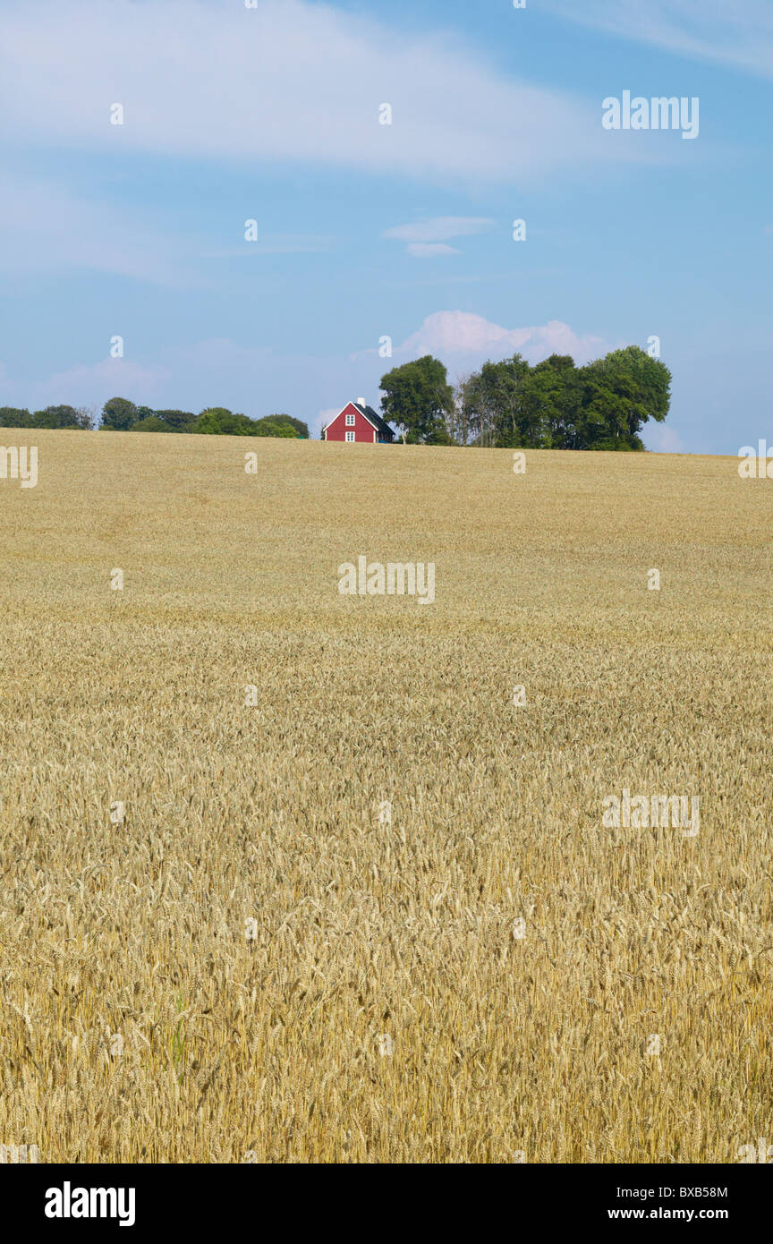 Wheat field and farm house in distance - Stock Image