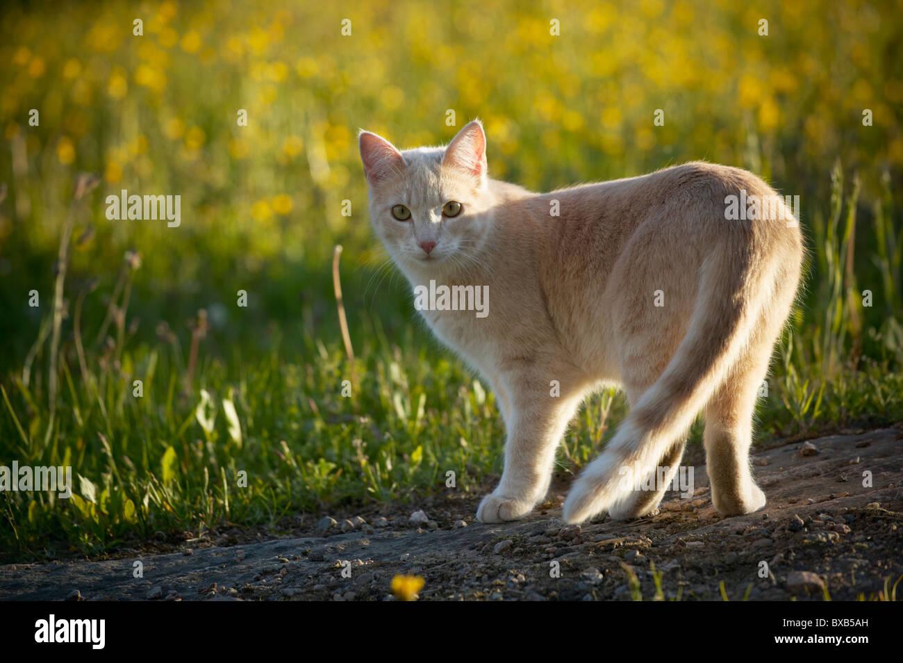 Ginger cat - Stock Image