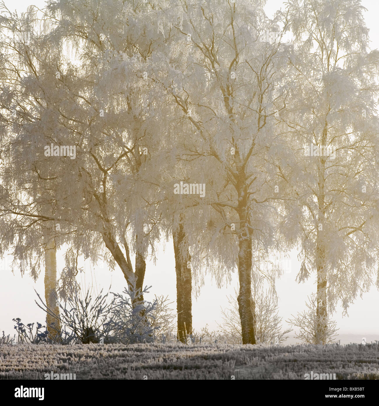 Frosted trees - Stock Image