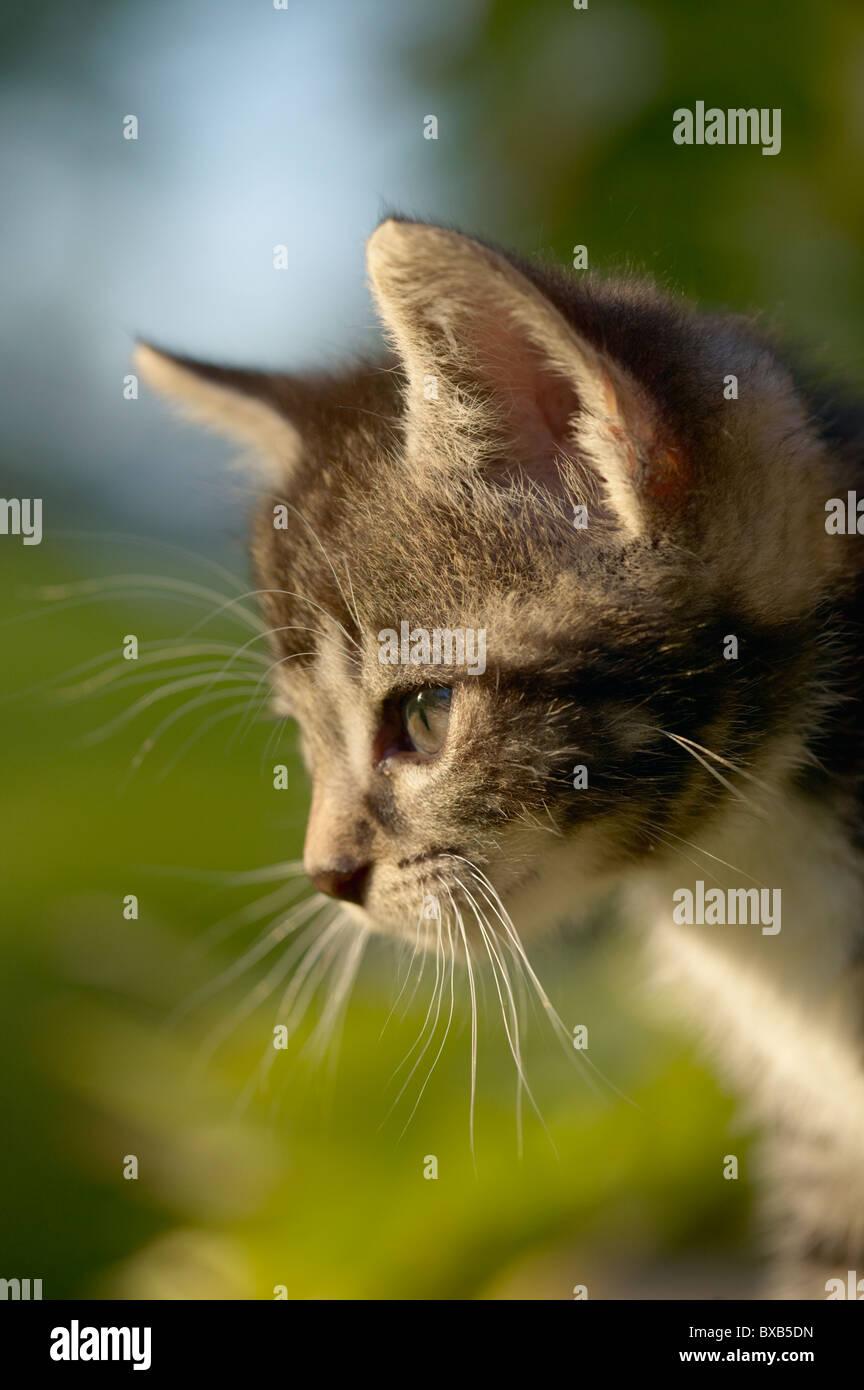 Kitten, side view - Stock Image