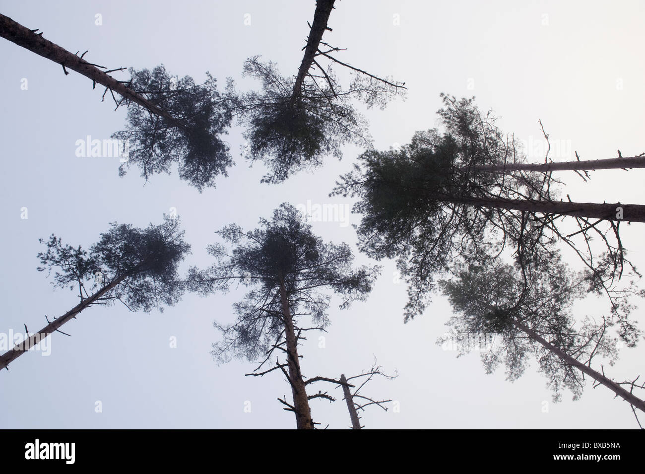 Tall trees against sky - Stock Image