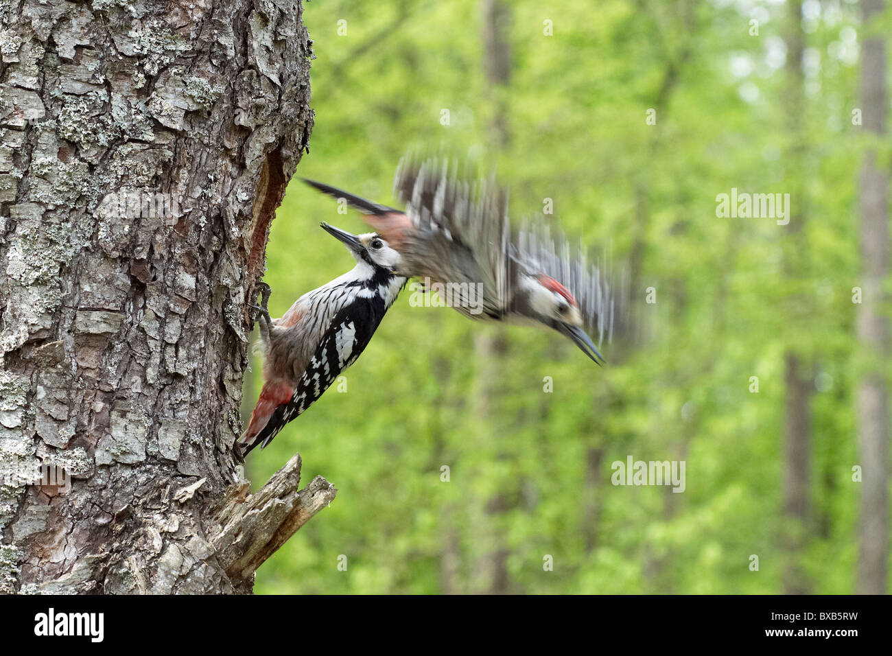 White-backed woodpeckers perching on tree, close-up - Stock Image