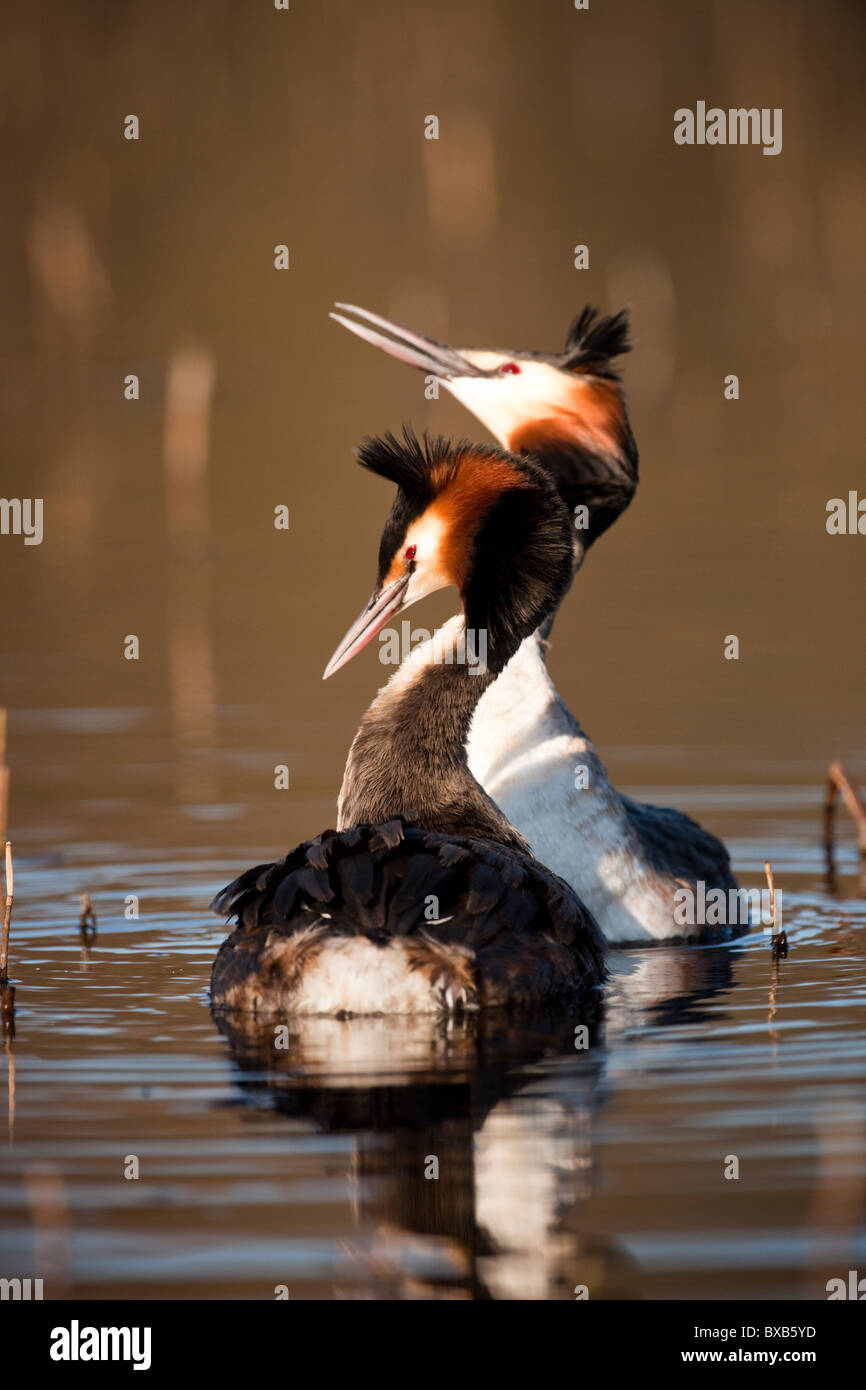 Great crested grebes in pond - Stock Image