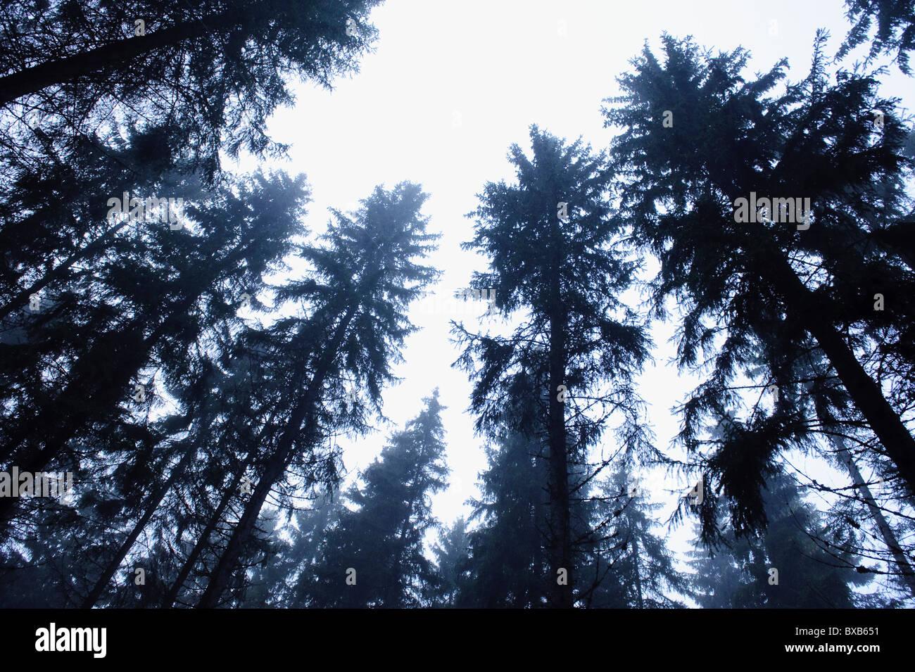 Evergreen trees against sky - Stock Image