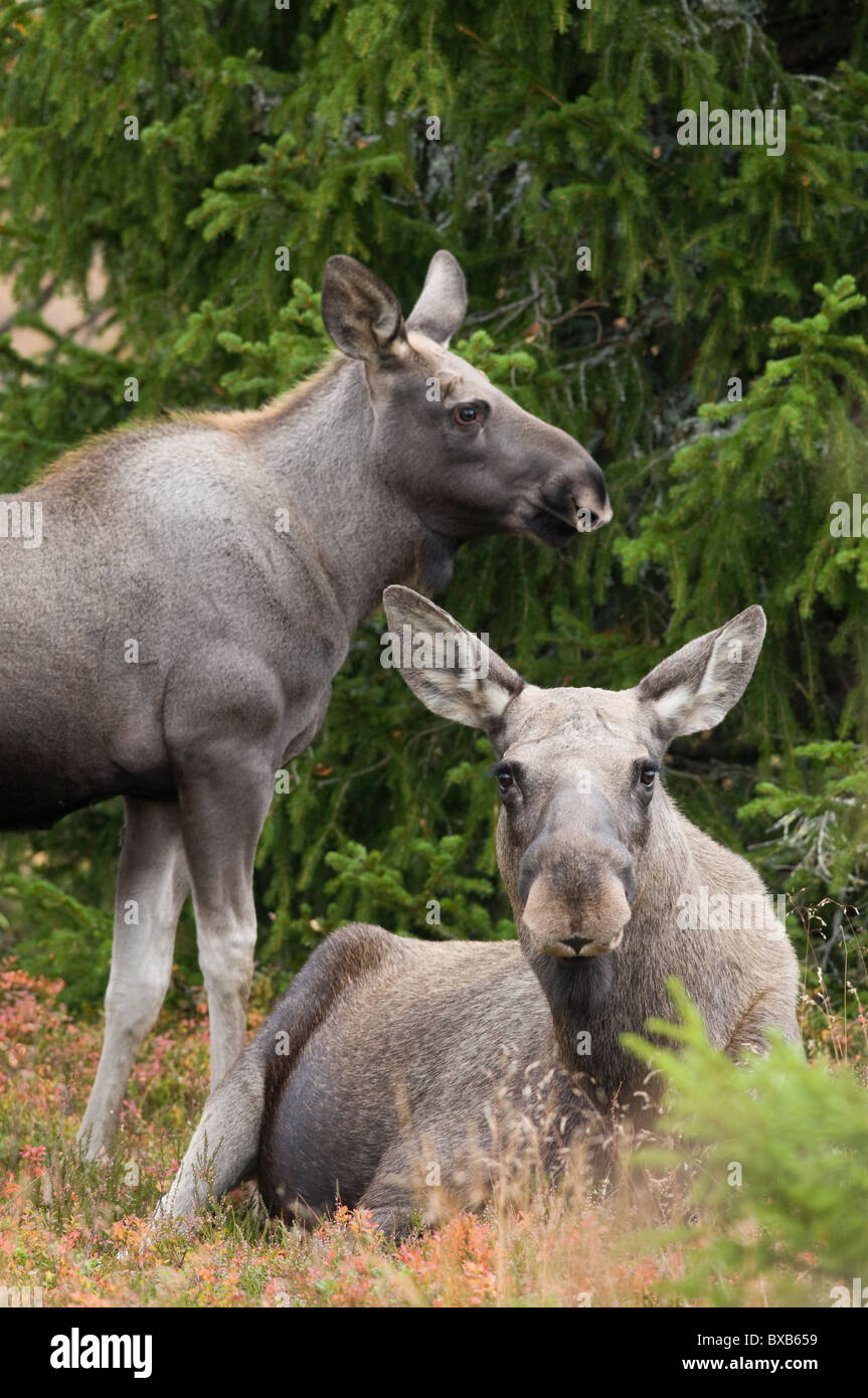 Two mooses in forest - Stock Image