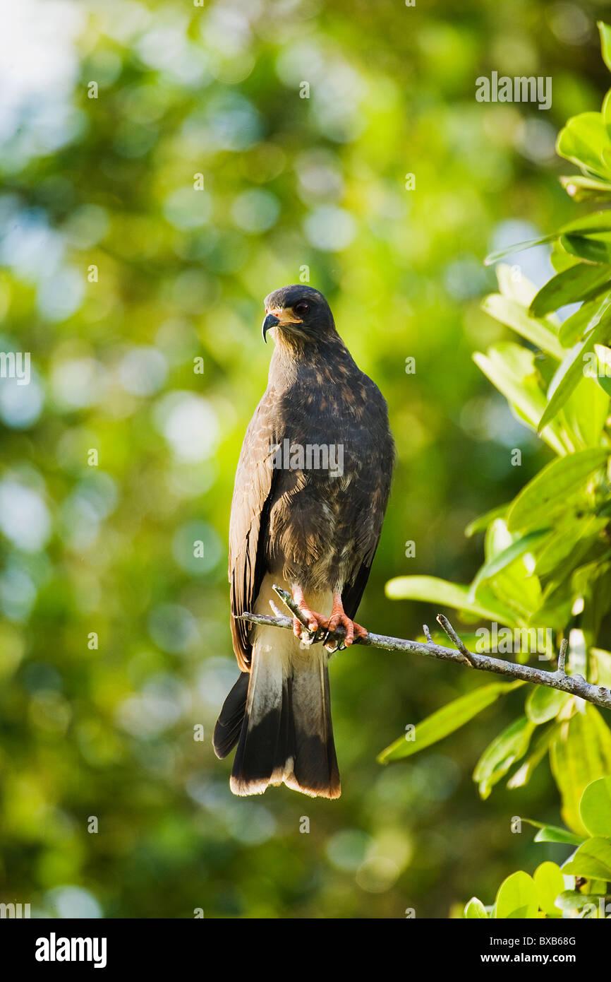 Everglade kite perching on tree - Stock Image