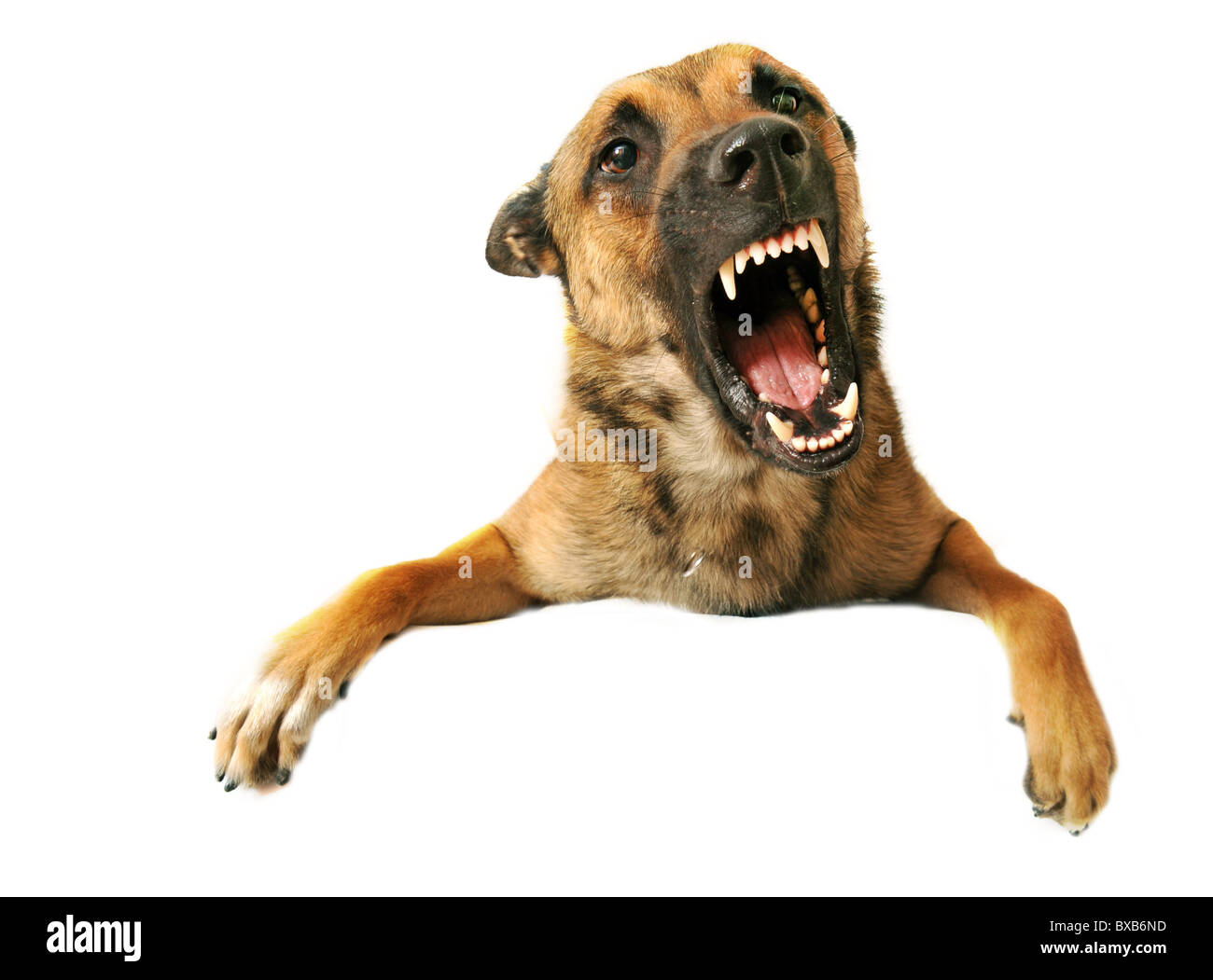 portrait of a very angry purebred belgian shepherd malinois - Stock Image