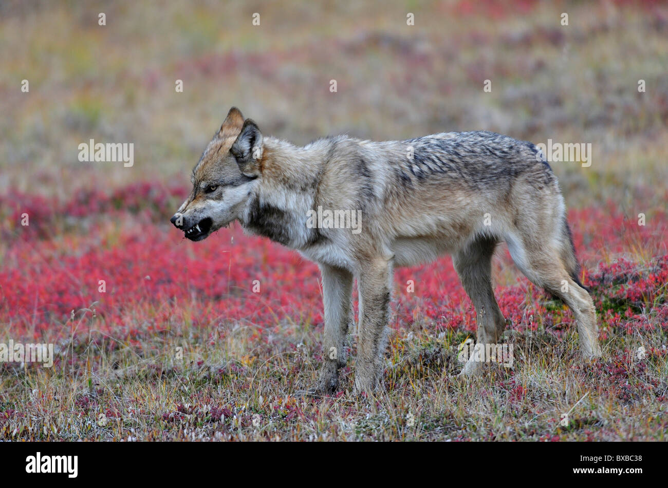 Wolf (Canis lupus) crossing the tundra, looking for food, threatening gesture, Denali National Park, Alaska - Stock Image