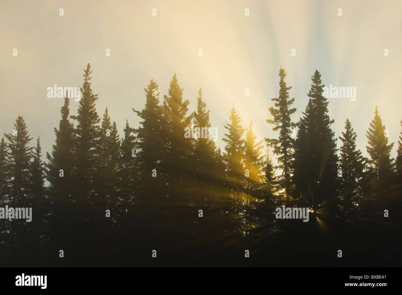 Sunlight shinning through the conifer trees - Stock Image