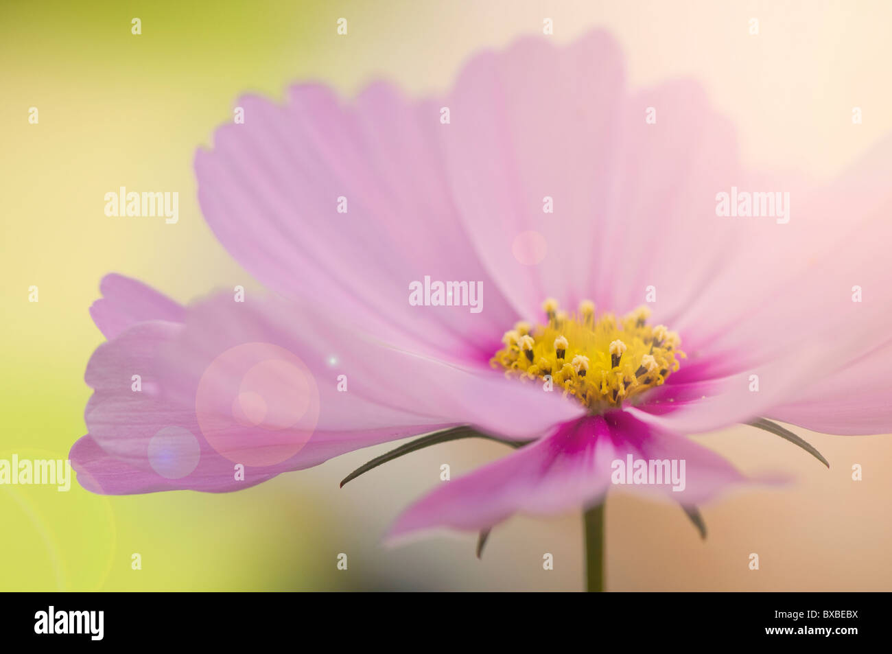 A single cosmos flower with sun flare - Lens flare - Stock Image