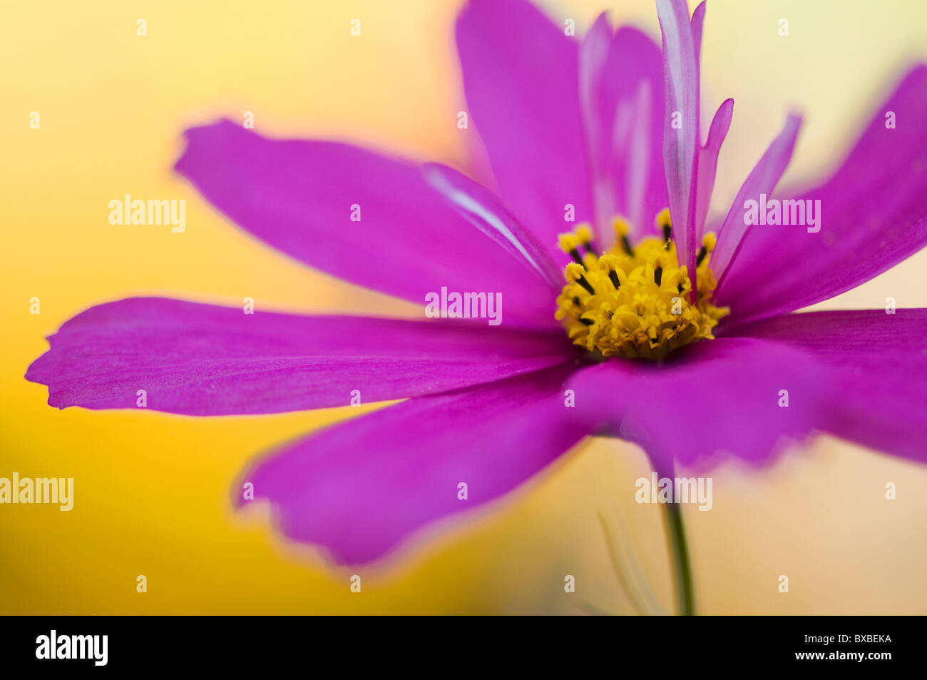 A single vibrant pink Cosmos sonata flower - Stock Image