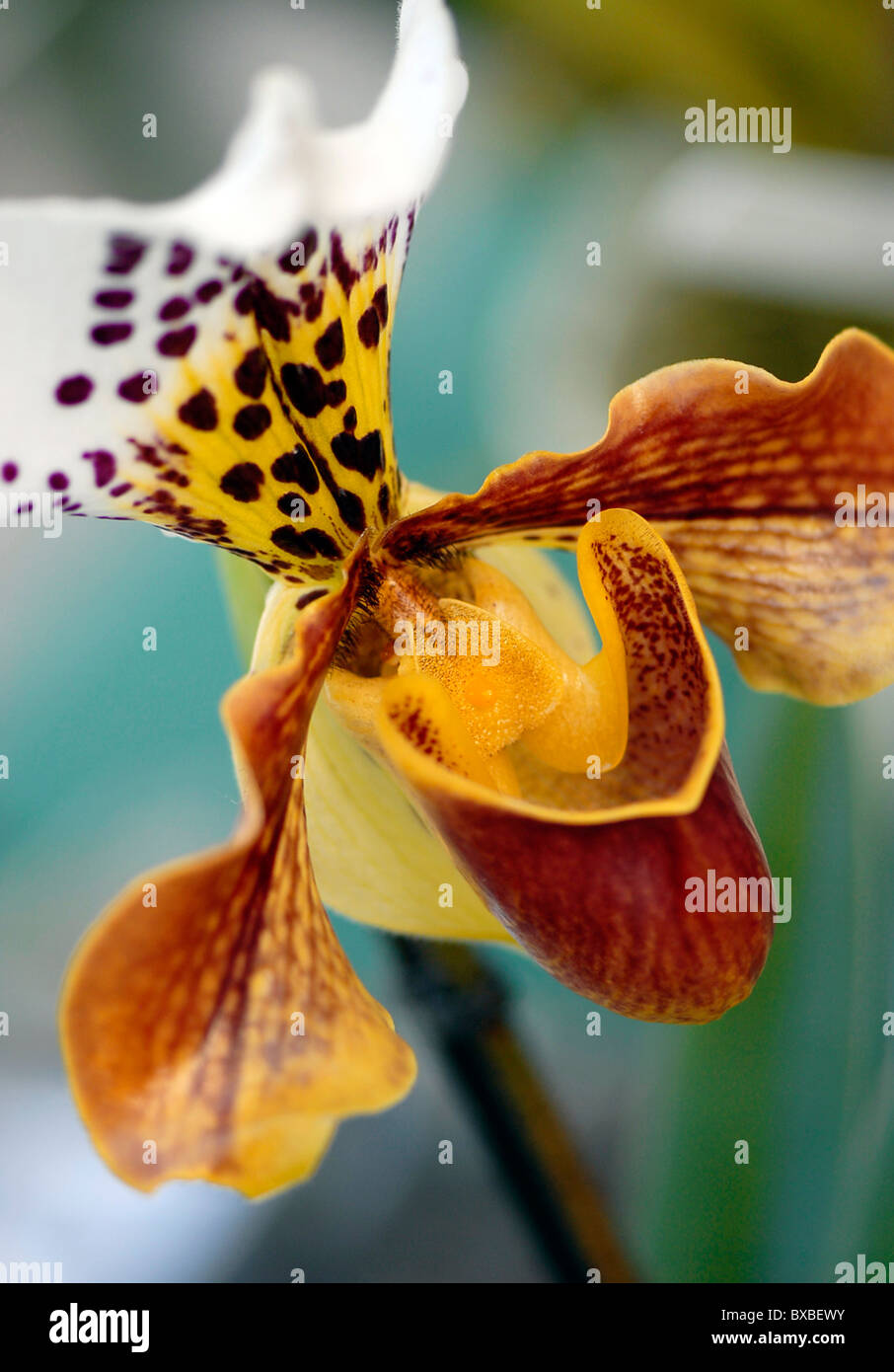 Close-up of a single Paphiopedilum Insigne, orchid - Ladies Slipper orchid - Stock Image