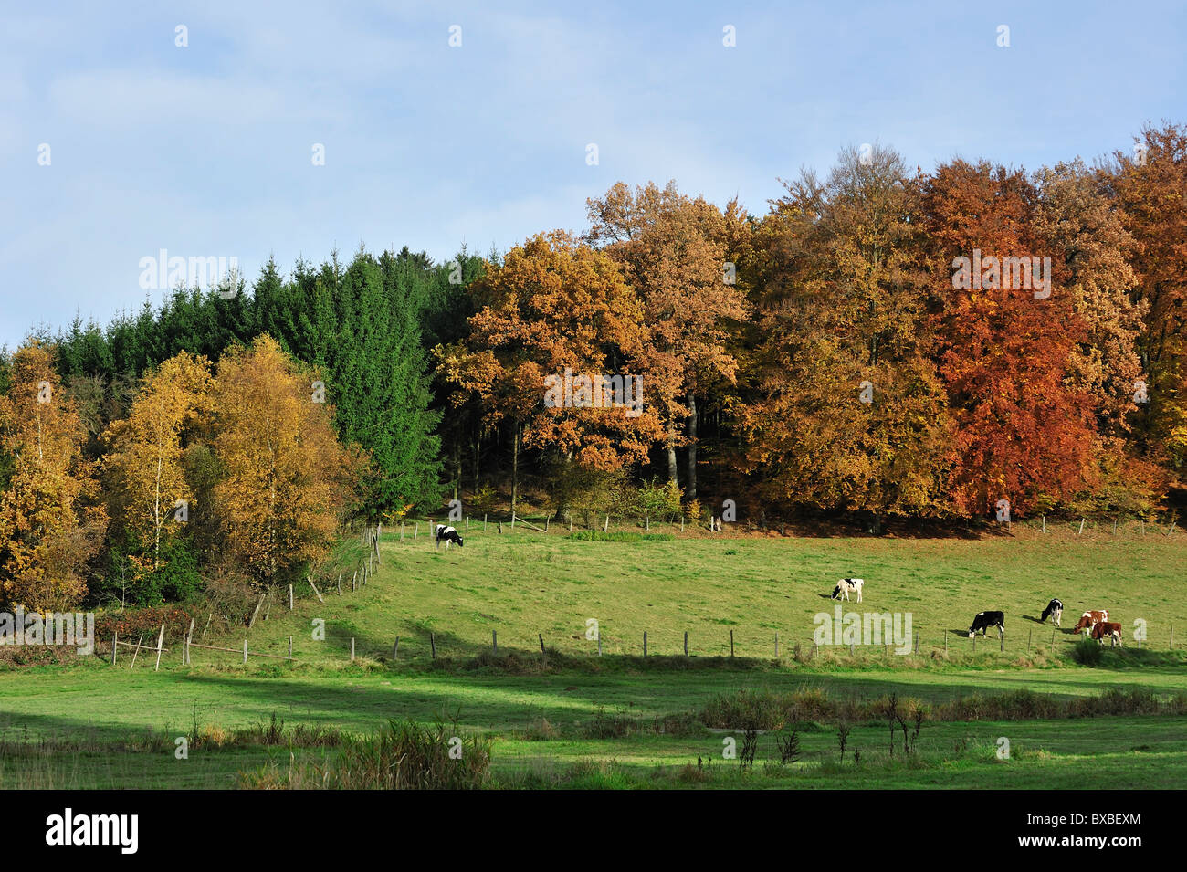Farmland with cows in field and forest in autumn colours in the Ardennes, Belgium Stock Photo