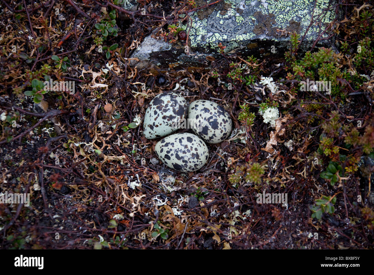 Eurasian Dotterel (Charadrius morinellus) spotted eggs in nest on the tundra, Sweden - Stock Image