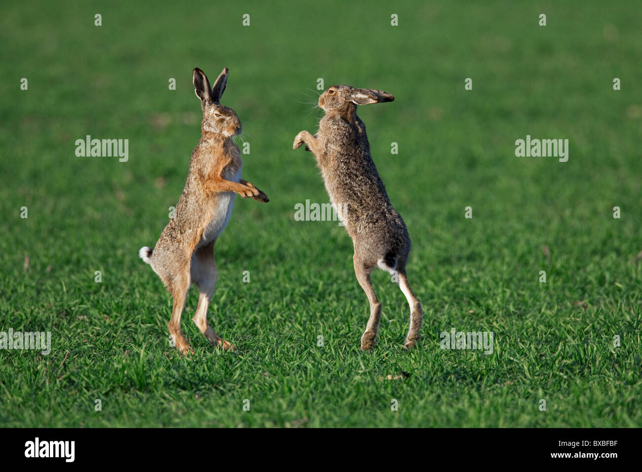 European Brown Hares (Lepus europaeus) boxing / fighting in field during the breeding season, Germany Stock Photo